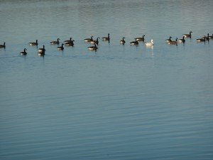 Group of geese on calm water.
