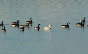 Close up of group of geese on calm water.