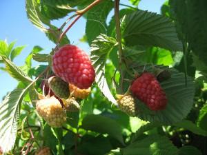 Raspberries on the vine.